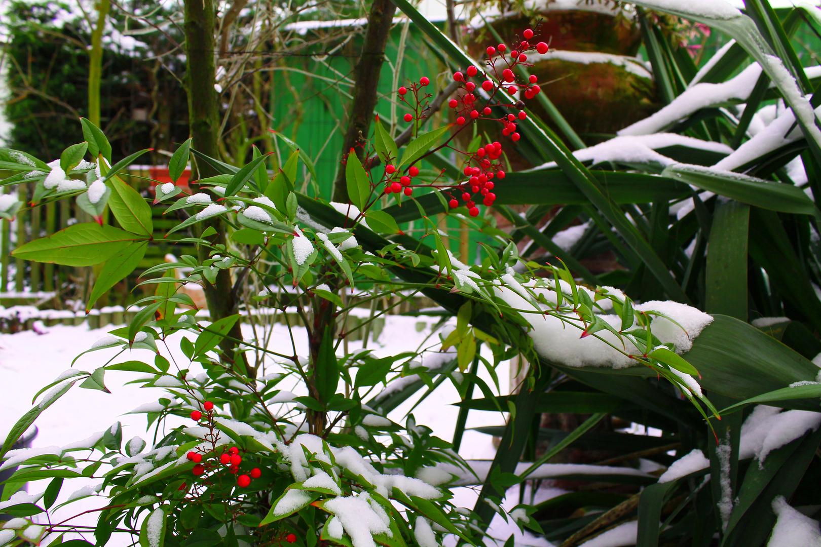 Heiliger Bambus Foto Bild Pflanzen Pilze Flechten Pflanzen