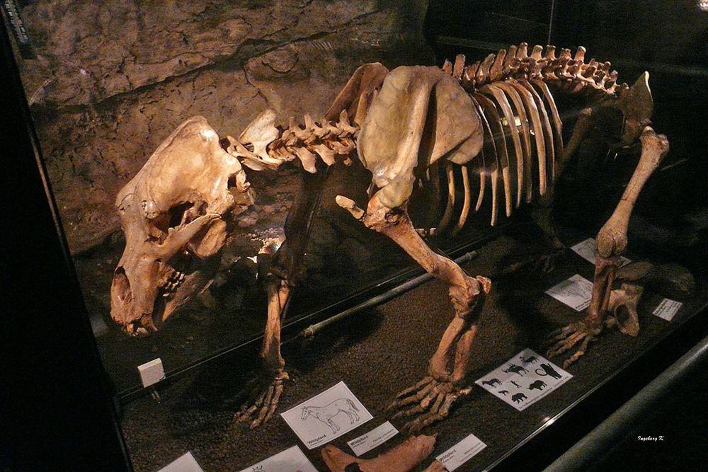 Heinrichshöhle Hemer - eiszeitliches Bärenskelett