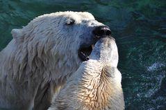 #Helden der Eisbärenanlage#