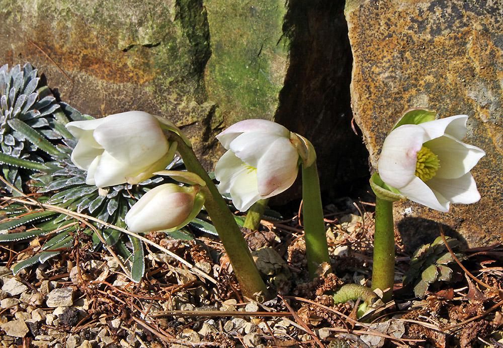 Heleborus niger und nun der große Start in die Saison der Alpinen und Steingartenpflanzen