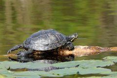 Helgoländer Schildkröten