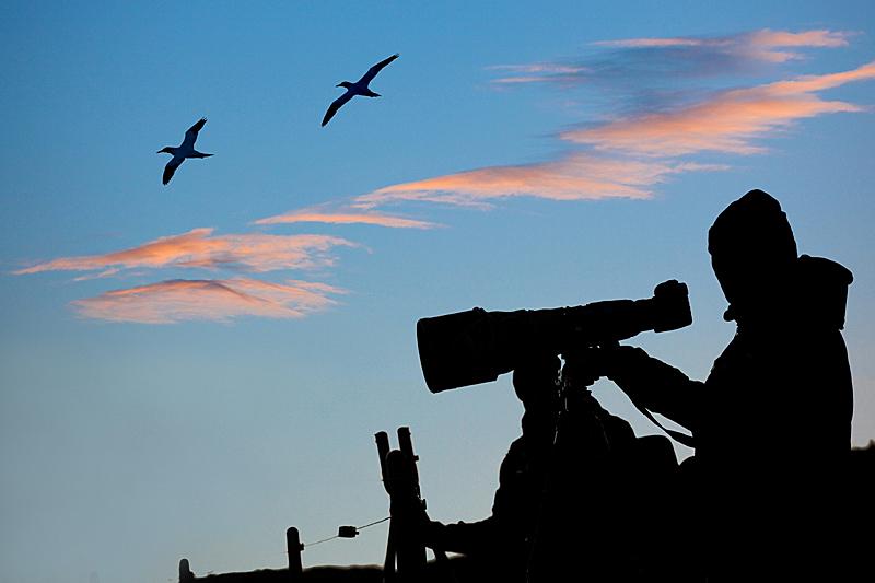 Helgoland Fotoworkshop Tier- und Naturfotografie - Abenddämmerung am Lummenfelsen - Basstölpel