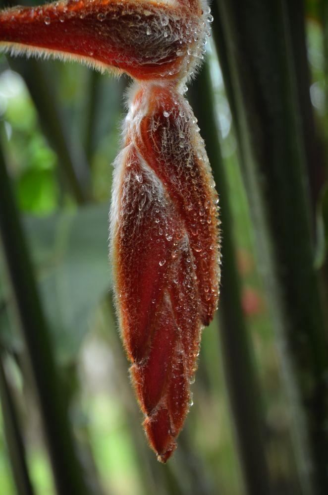 Heliconia rostrata