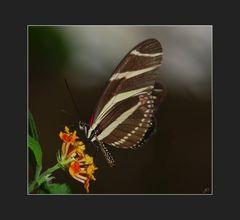 Heliconius charithonia