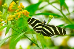 Heliconius charithonia, the zebra longwing or zebra heliconian