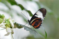 Heliconius cydno galanthus