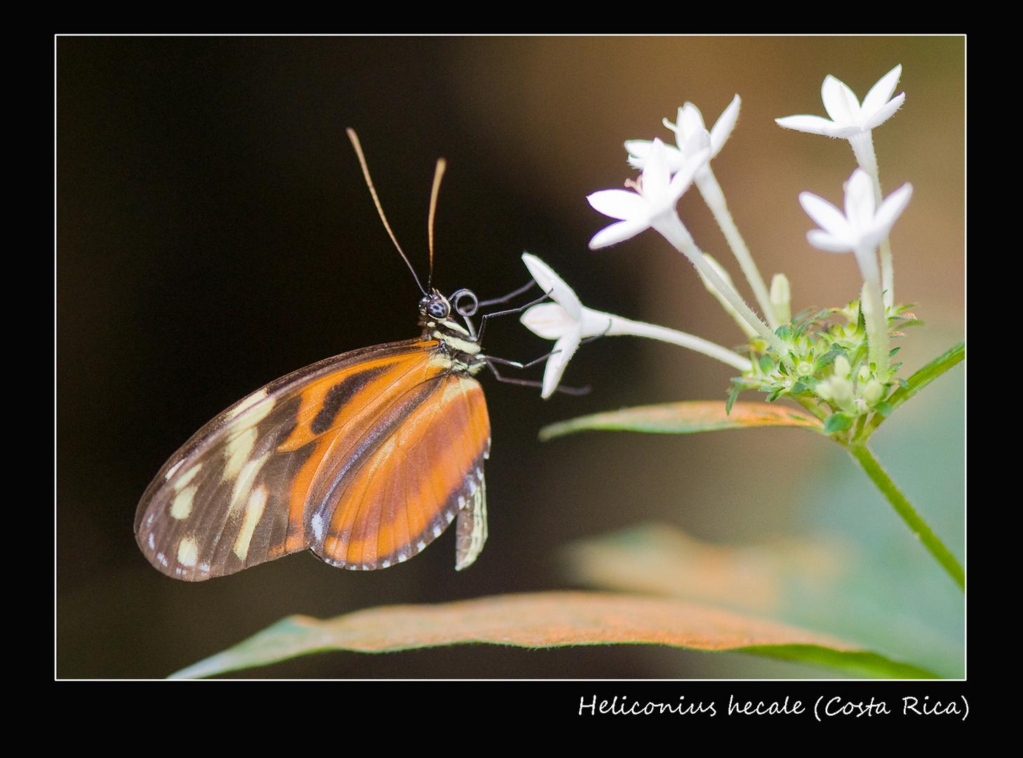 Heliconius hecale