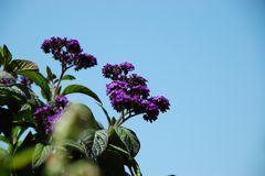 Heliotrop - Vanilleblume