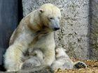 Hellabrunn Eisbärin Giovanna beim Säugen von Nela und Nobby