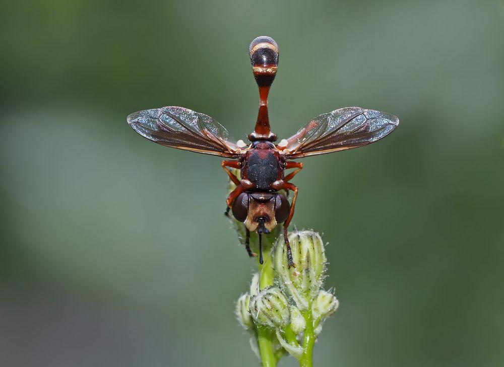 Helle Stieldickkopffliege (Physocephala vittata) 1. Foto - Une mouche pas comme les autres...