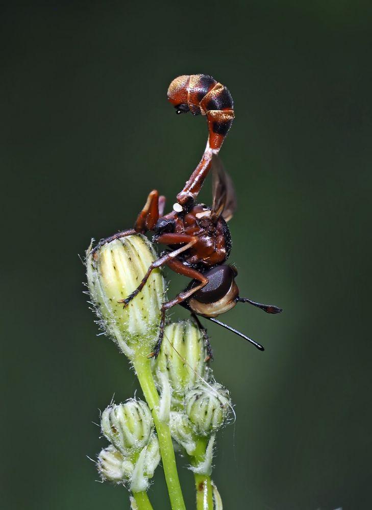 Helle Stieldickkopffliege (Physocephala vittata) 2. Foto - Une mouche pas comme les autres...