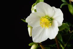 Helleborus, junge Blüte
