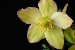 Helleborus, reife Blüte