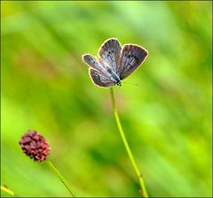 Heller Wiesenknopf-Ameisen-Bläuling