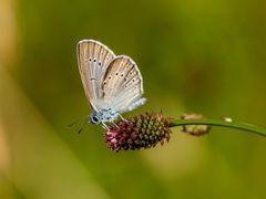 Heller Wiesenknopf-Ameisen-Bläuling (Maculinea teleius)