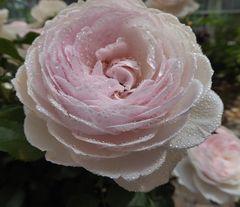 hellrosa Rosenblüte mit Tropfen