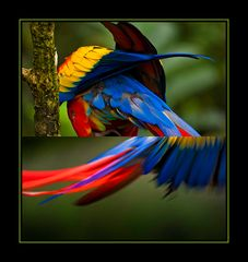 Hellrote Aras, Costa Rica