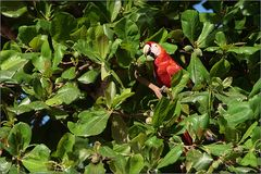 hellroter ara / scarlet macaw / ara macao (84 cm)