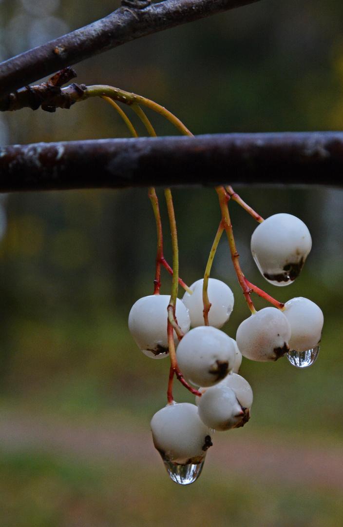 Helmipihlaja, Sorbus koehniana