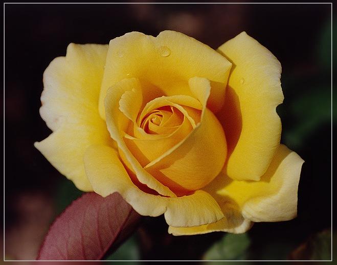 Helmut Schmidt - Rose