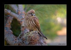 Hembra de cernícalo (Falco tinnunculus)