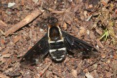 Hemipenthes maurus - ein weniger häufiger Schweber ...
