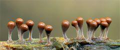 Hemitrichia clavata