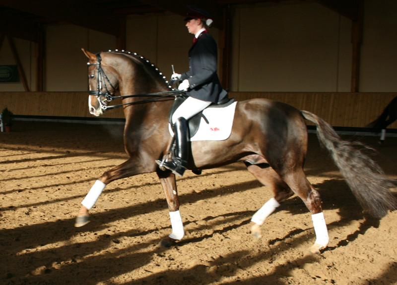 Hengst Relius! ein Traumpferd
