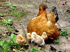 Henne Berta und ihre Kinder
