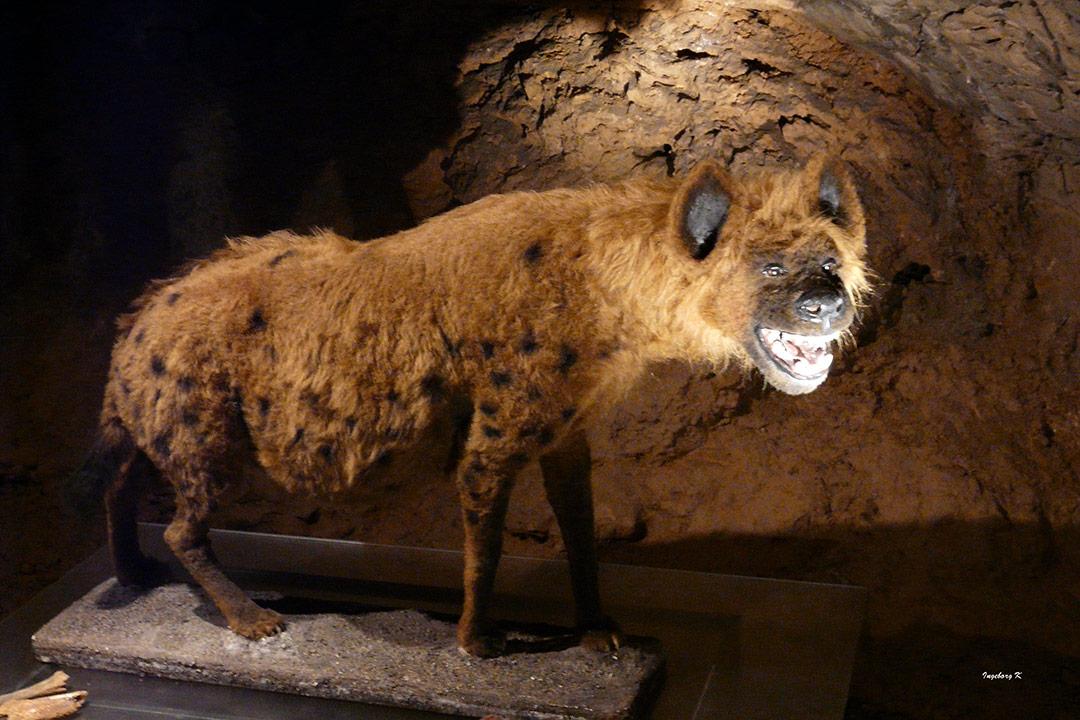 Henrichshöhle Hemer - eiszeitliches Skelett - eine Hyäne?