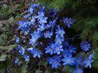 Hepatica nobilis-blue floweret