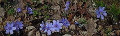 Hepatika nobiles - Leberblümchen mal in anderem Format ...