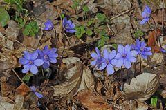 Hepatika nobiles-Leberblümchen oder...