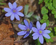 Hepatika nobiles mit größeren Blüten