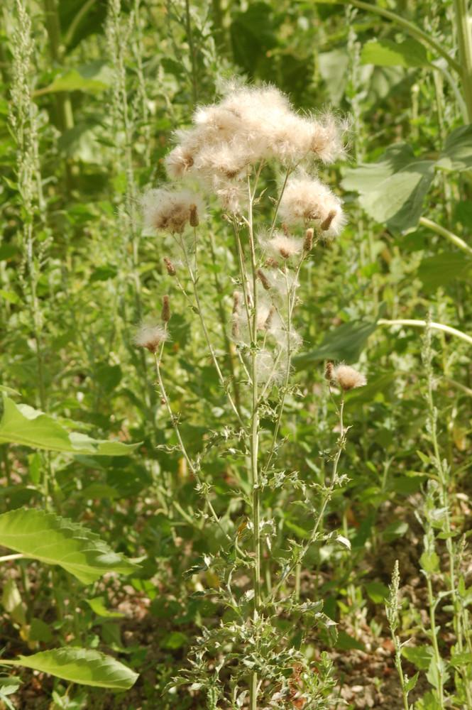 herbe sauvage