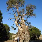 Herbig Gum Tree