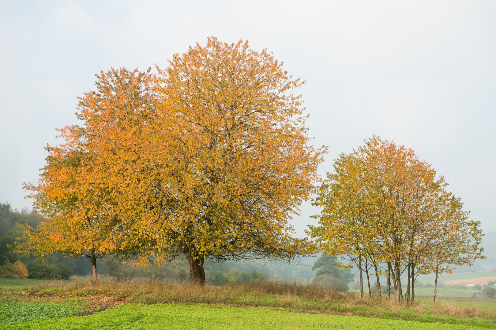 Herbsbaumgruppe