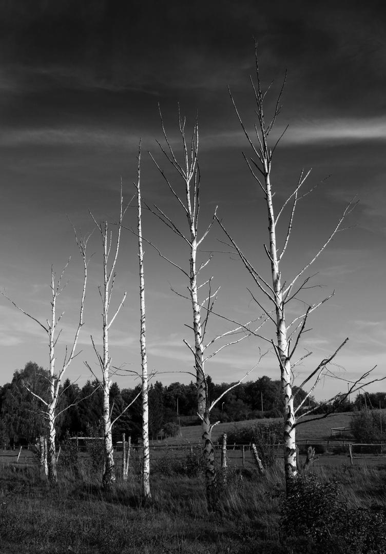 Herbst - 5 Birken die wirken.....