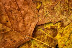 Herbst Ahorn
