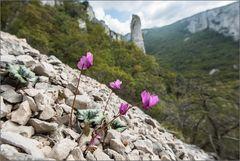 Herbst-Alpenveilchen im Biotop