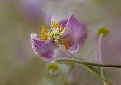 Herbst Anemona II