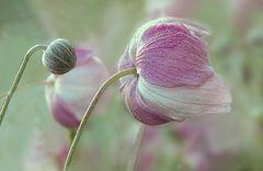 Herbst Anemone IV