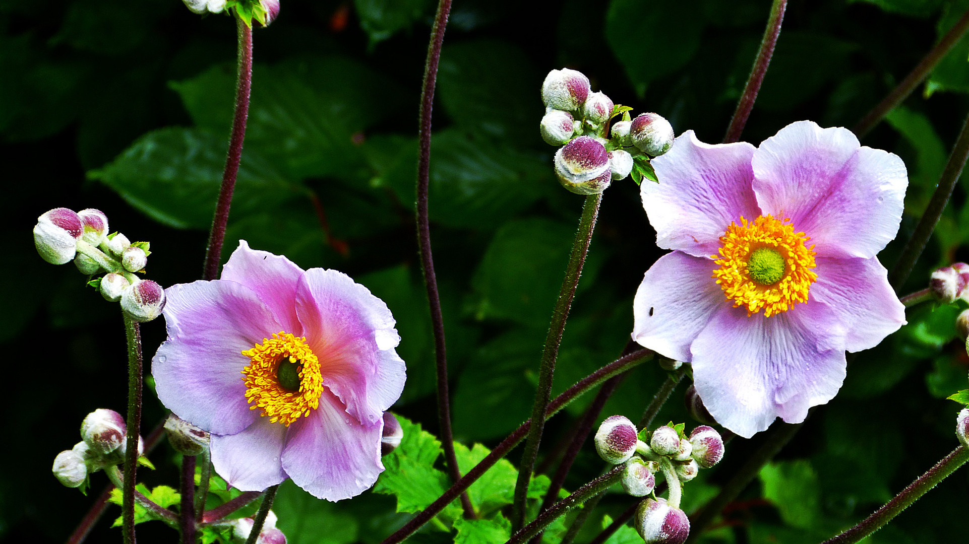 Herbst Anemonen Foto Bild Pflanzen Pilze Flechten Bluten