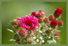 Herbst-Aster 1
