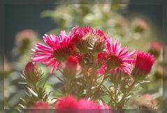 Herbst-Aster 2