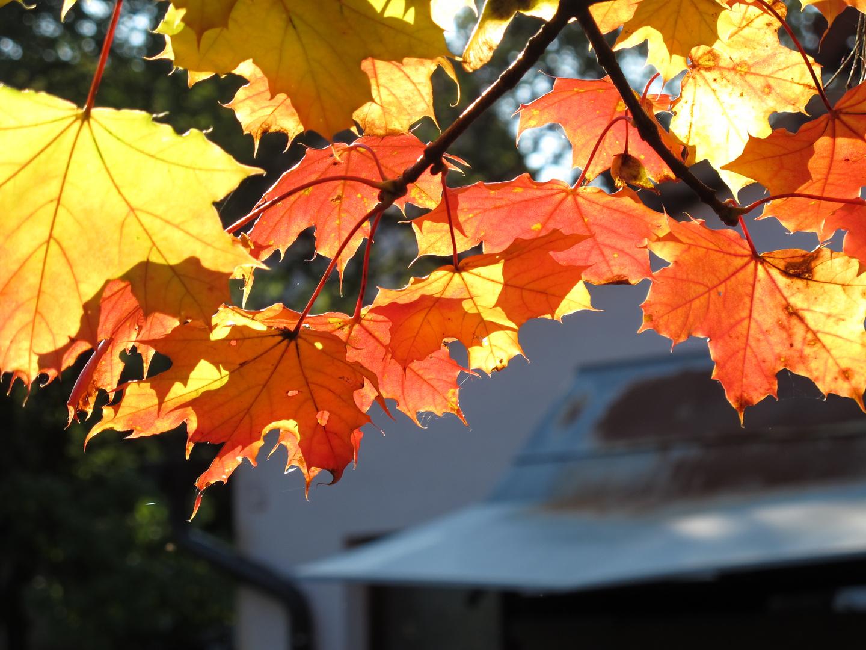 Herbst - Blätterfärbung