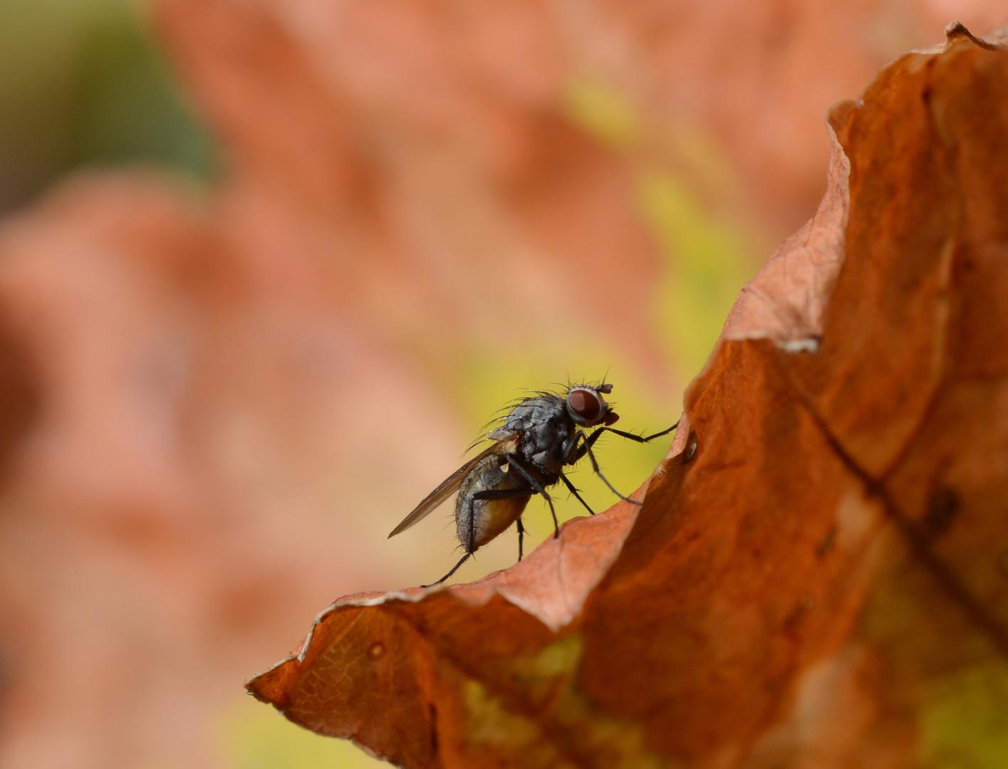 Herbst Fliege