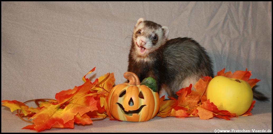 Herbst - Frettchen Jack
