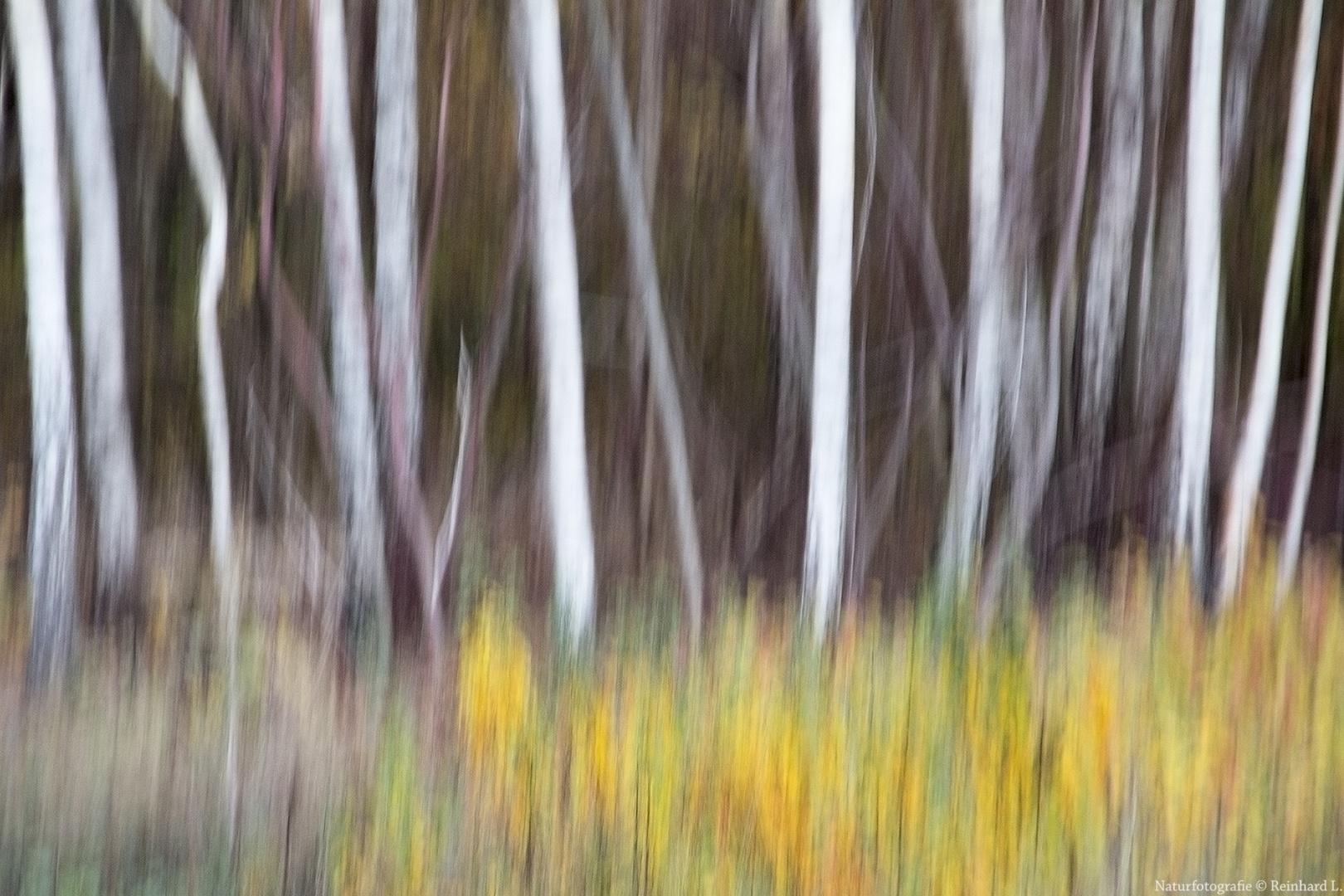Herbst im Birkenwäldchen