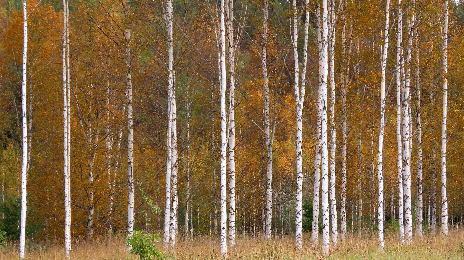 Herbst im schwedischen Birkenhain.......